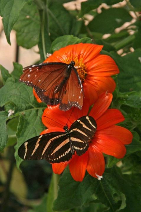 Queen Monarch & Zebra Longwing