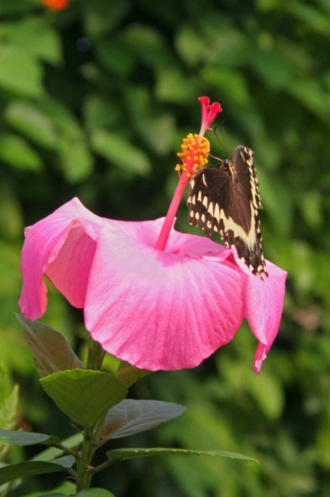 Anise Swallowtail on Pink Hibiscus