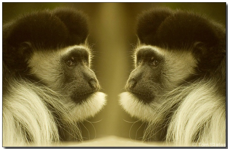 Monkey See Monkey Twins?