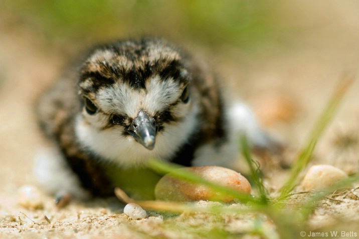 Baby Killdeer at Rest