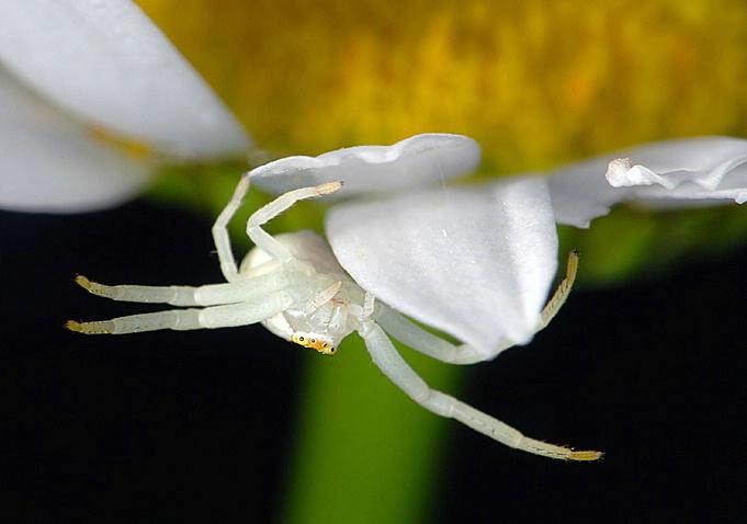Tiny Spider on Daisy Petal