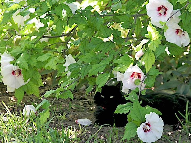 Hiding in the Hibiscus