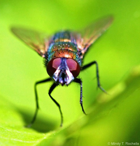 Fly  of  Many  Colors