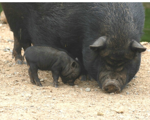 BABY AND MAMMA POT BELLY PIGS
