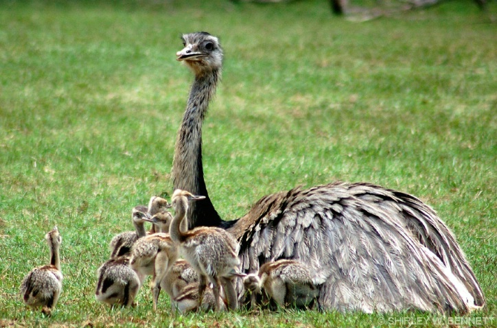 MAMMA EMU WITH BABIES