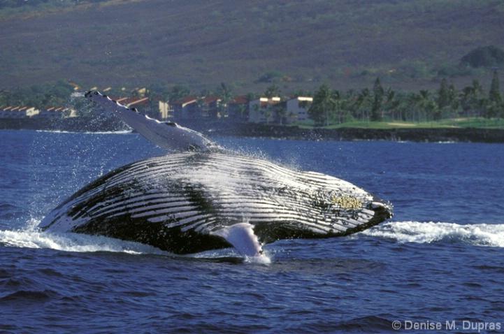 Humpback Breach