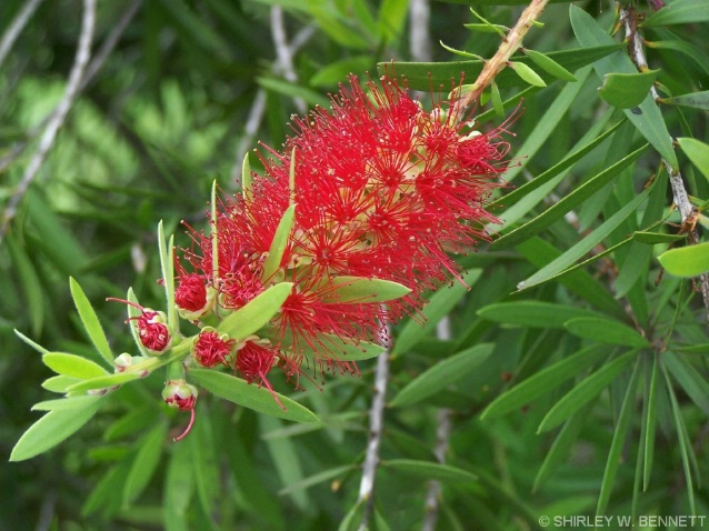 BOTTLEBRUSH PLANT