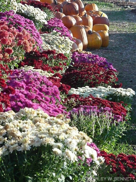 chrysansemums and pumpkins