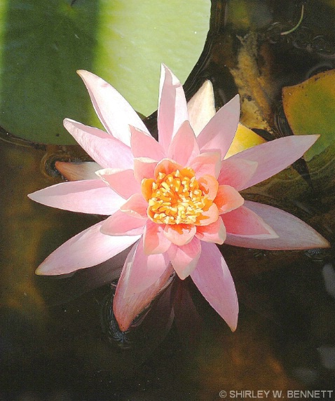 WATER LILLY 5