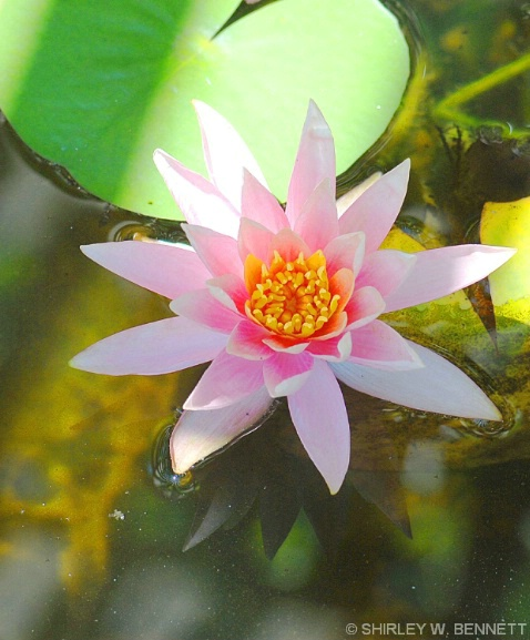 WATER LILLY IN POND