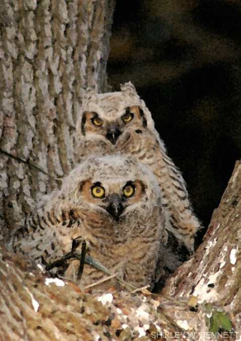 BABY OWLS