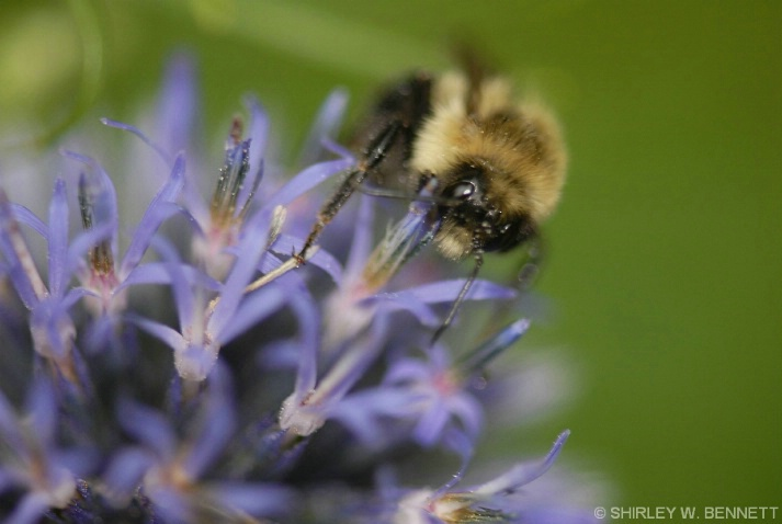 BUMBLEBEE ON FLOWER 3