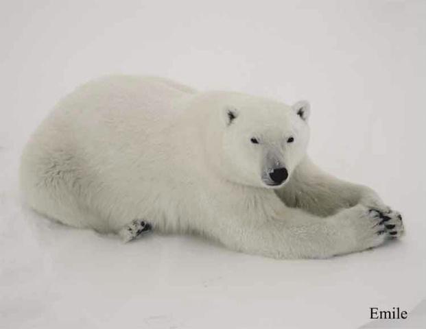 Polar Praying Paws