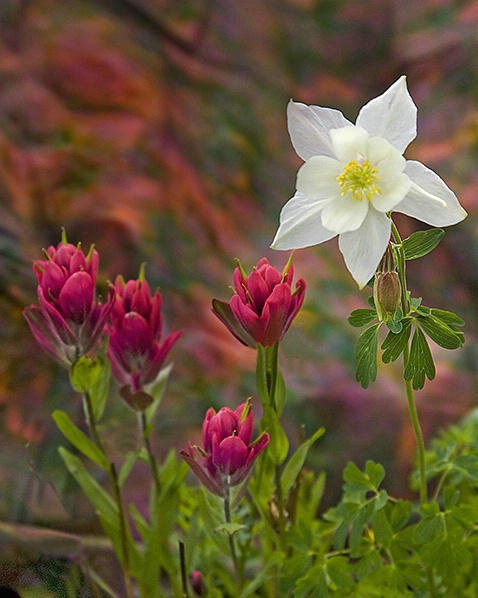colorado_wildflowers