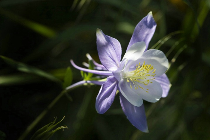 colorado__columbine