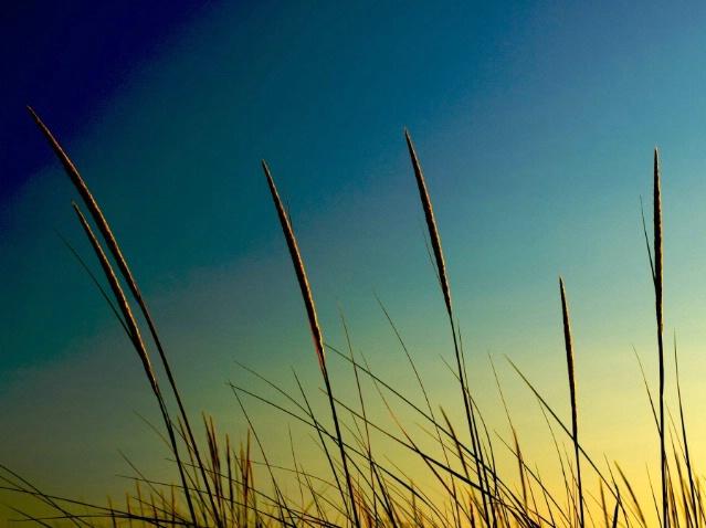 Beach Grass at sunset
