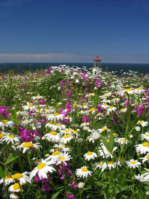 Flower field at North Light, WA