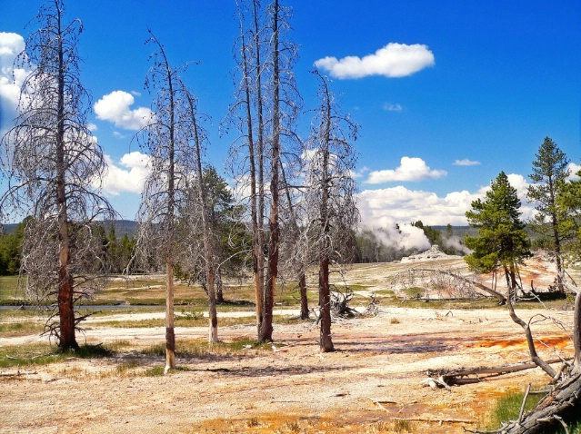Dead trees and geysers, Old faithful area, Yellows
