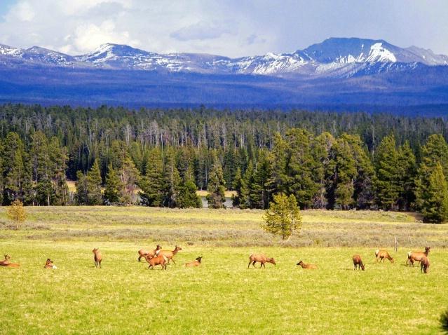 Happy deers, Yellowstone, WY