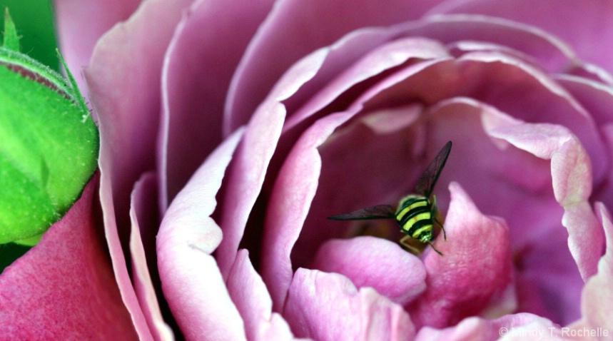 Bee - hind