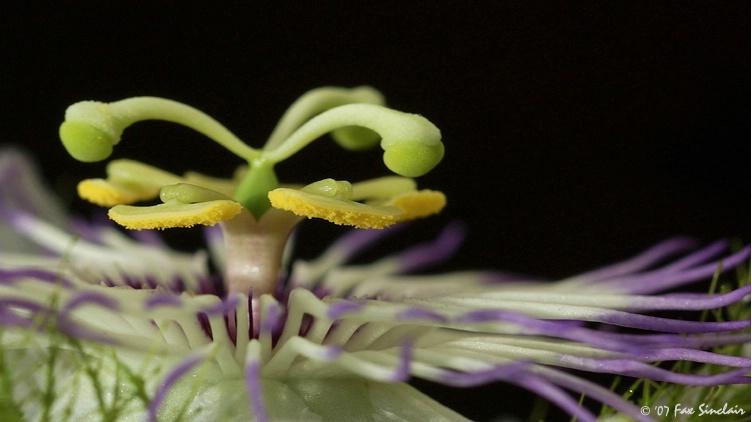 Feared Flower