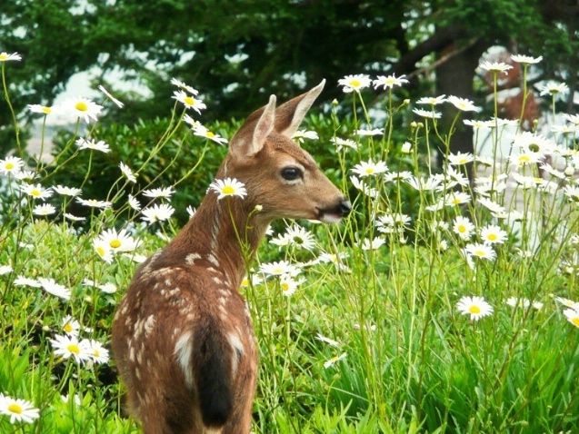 Fawn with Daisies