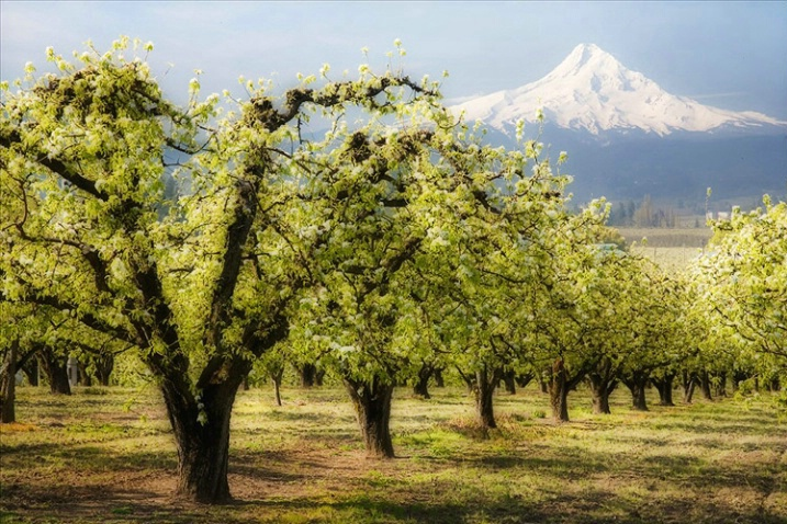 Mount Hood and Orchard