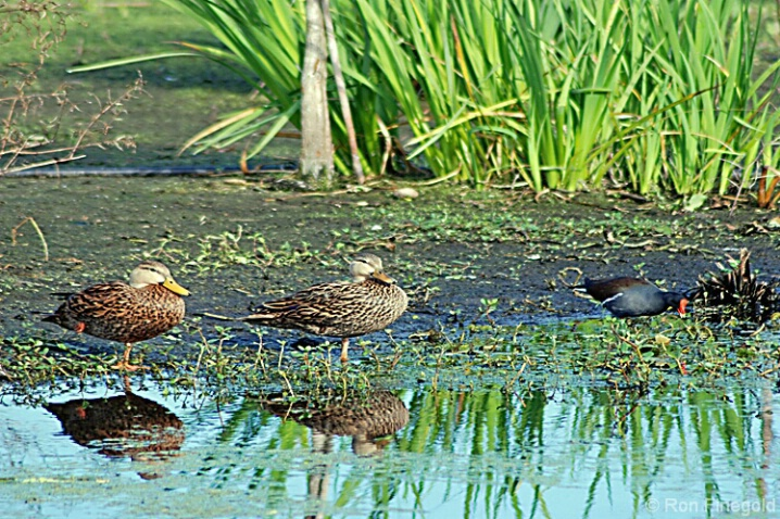 Mottled Ducks and Moorhen