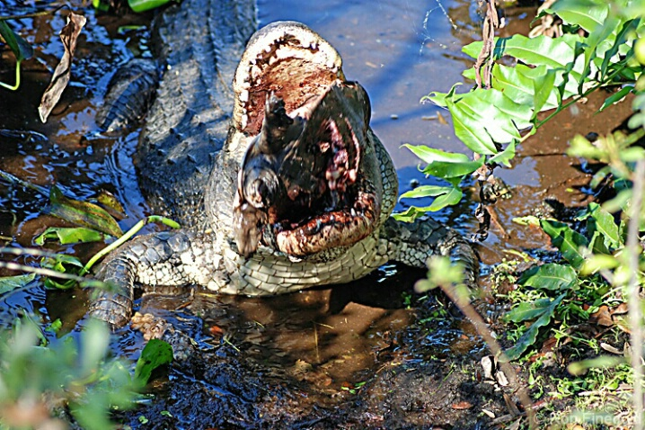 Alligator eating Turtle