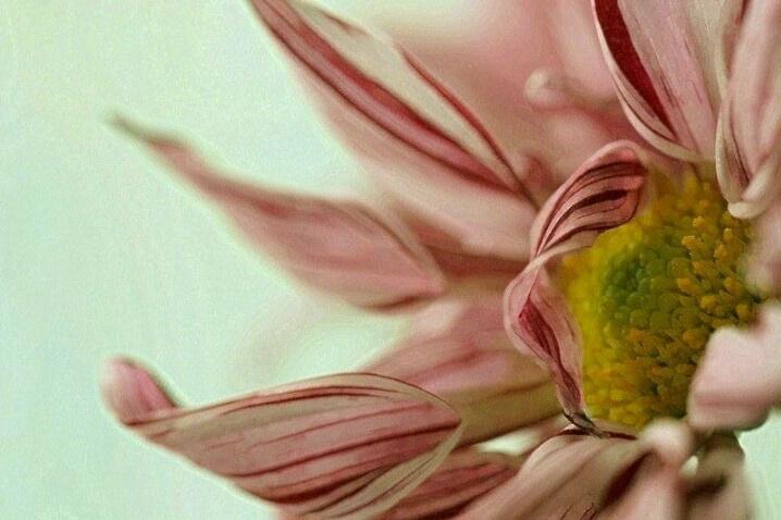 Peppermint Petals