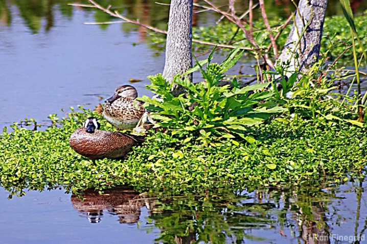 Teals  Male and Female