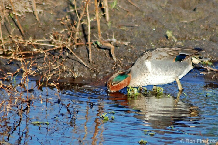 Taking a Drink-Green winged Teal