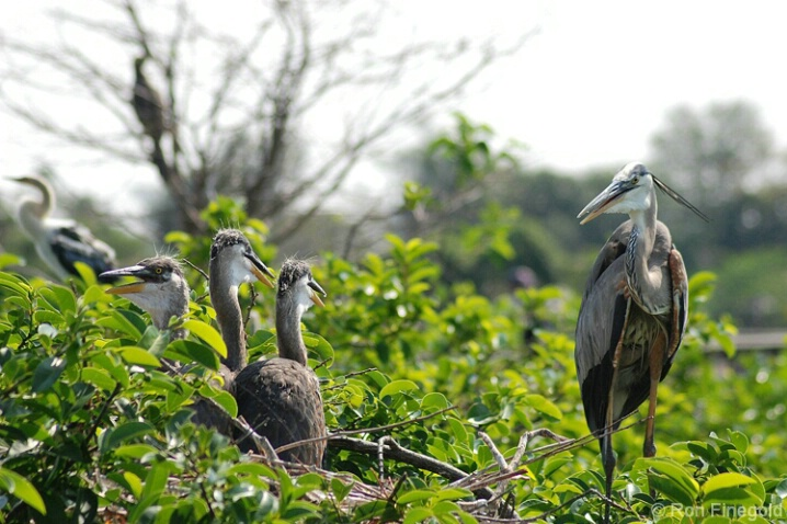 Great Blue Heron in nest with 3 chicks