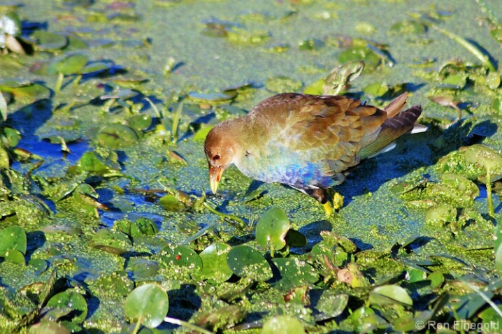 Purple Gallinule-juvenile