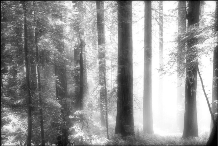 redwood_light