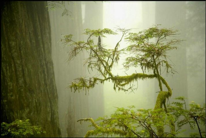 redwood_mist_4