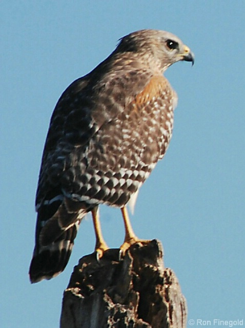 Looking over her territory.....Red Shouldered Hawk