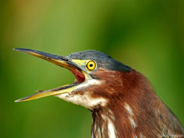 Green Heron....What'd ya say?