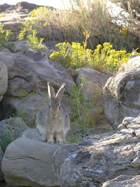 Badland bunny