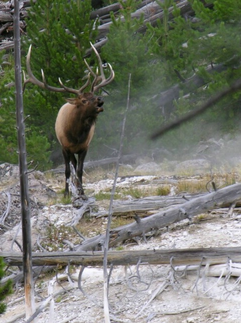 Bugling boy, Yellowstone