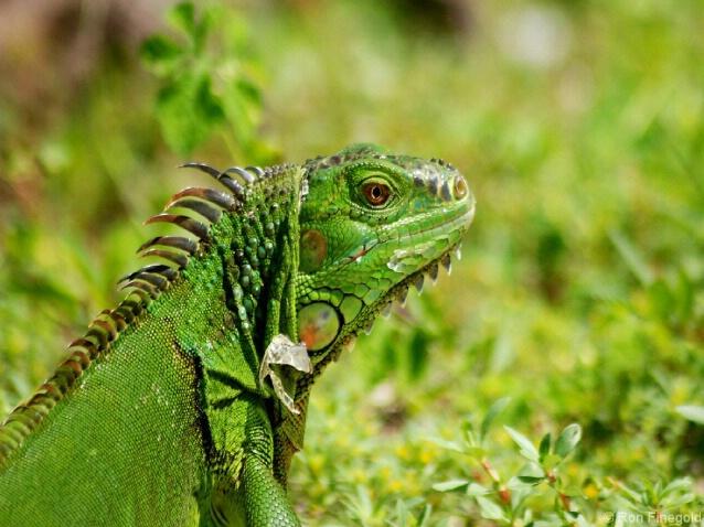 Absolutely Prehistoric...........Iguana