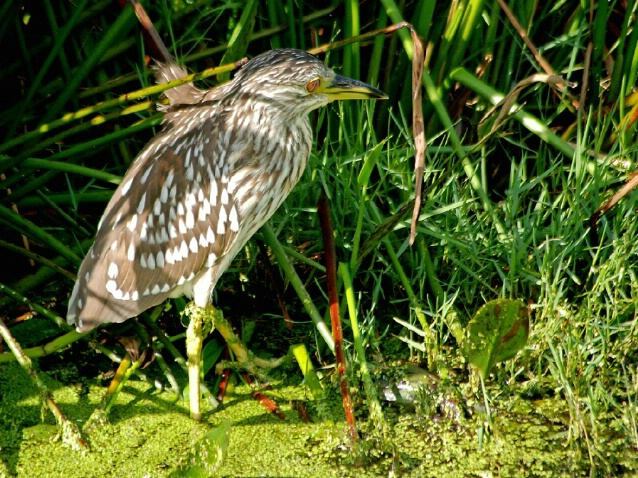 In the spotlight..Juvenile Blk Crowned Night Heron