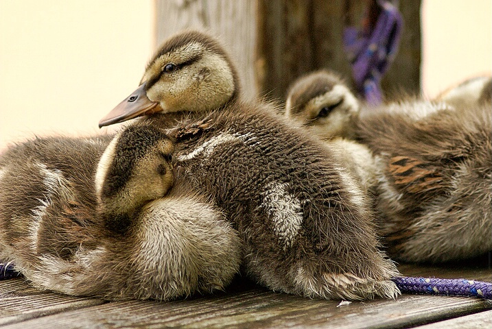 Ducklings on the Dock