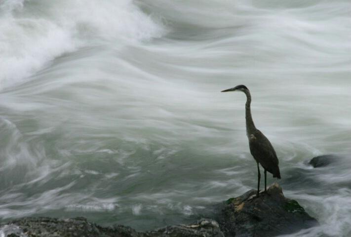 Rapids Heron
