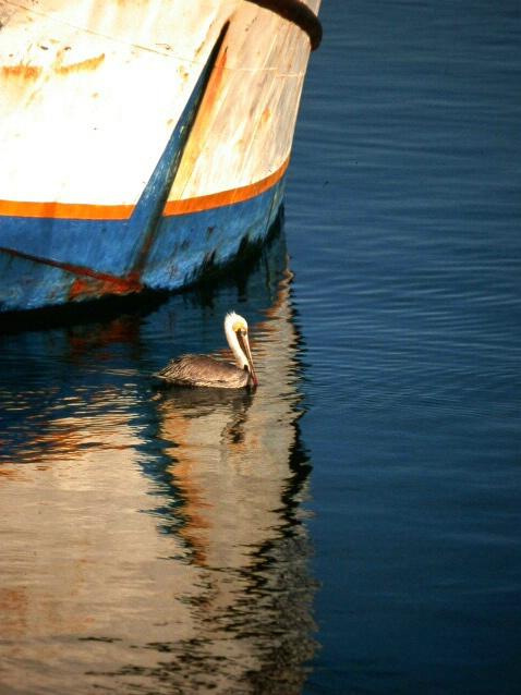 Pelican in San Felipe