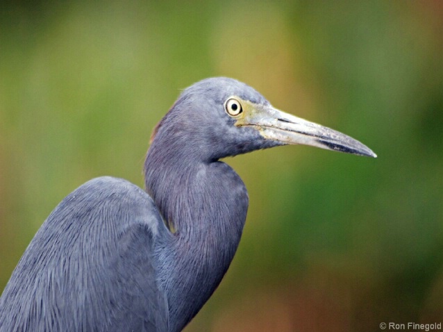 Posing School Graduate...Little Blue Heron