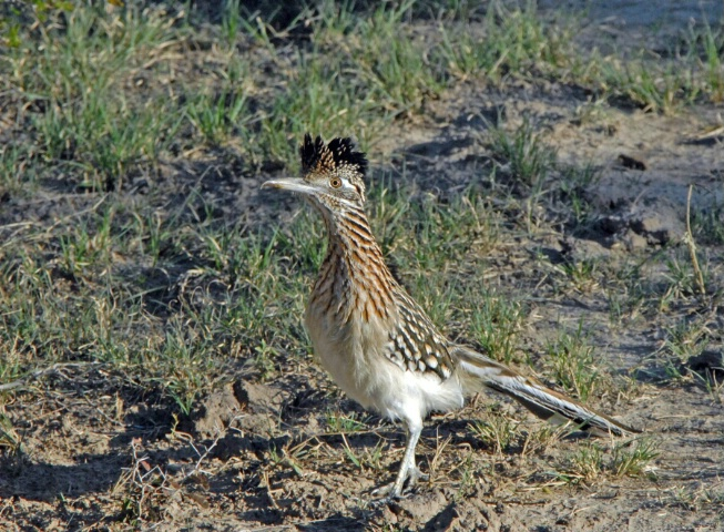 Texas Road Runner