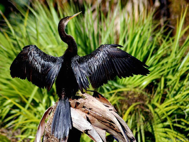 Anhinga drying its wings after a swim