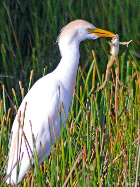 Today's Meal IV...Cattle Egret eating a Frog