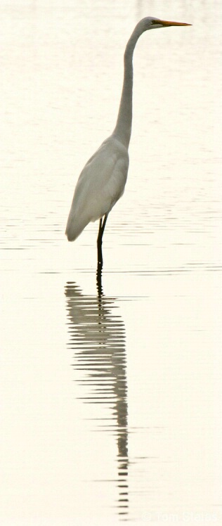 Egret at Assateague